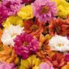 Portulaca (Moss Roses)-Full Flat