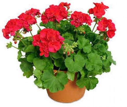 "13.5"" Geranium Pot"