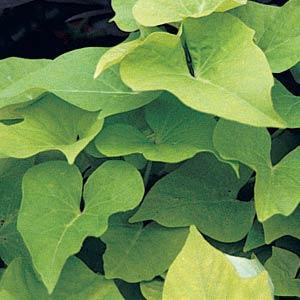 Sweet Potato Vine-Full Flat