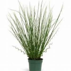Grass Blue Arrows  (Juncus)-Full Flat