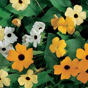 Black Eyed Susan (Thumbergia)