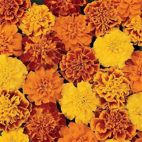 Marigold 6pk.