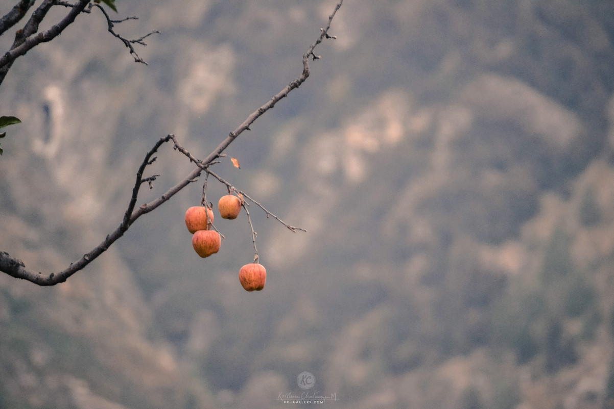 Apples at Sangla