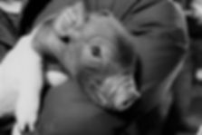 2018 xbred piglet.jpg