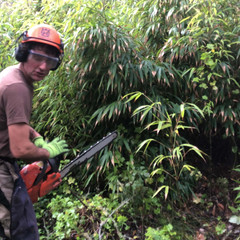 Identifying, Cutting & Containing Creeping Bamboo