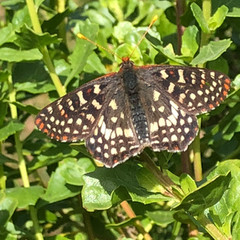 Variable Checkerspot on Coyote Brush