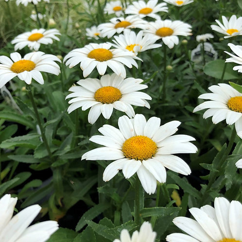 Shasta Daisy- 'snowcap'