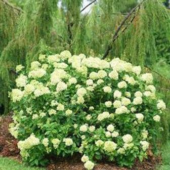 Panicle Hydrangea- 'little lime'