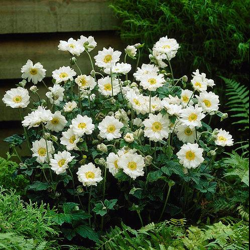 Japanese Anemone- 'whirlwind'