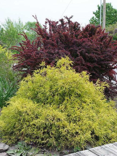 False Cypress 'golden mop'
