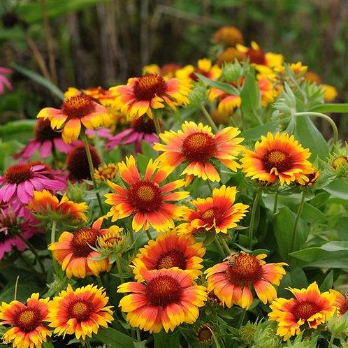 Blanket Flower- 'mesa bright bi-color'