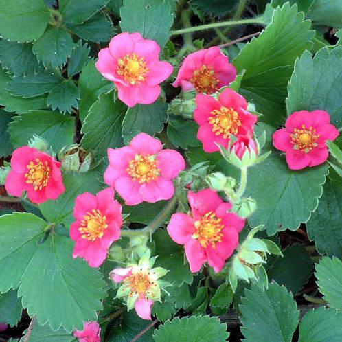 Ornamental Strawberry- 'lipstick'