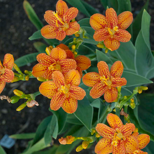 Blackberry Lily- 'freckle face'
