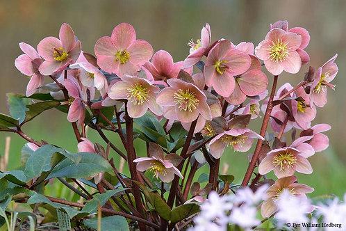 Lenten Rose 'pink frost'