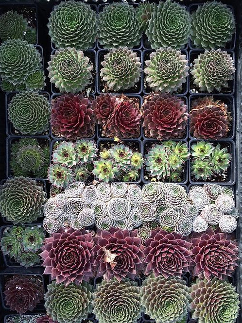 Hen and Chicks (assorted unnamed varieties)