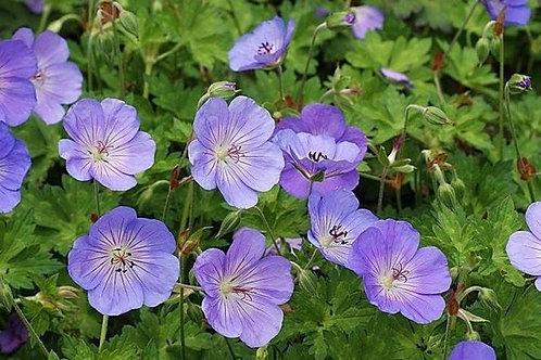 Hardy Cranesbill Geranium 'azure rush'