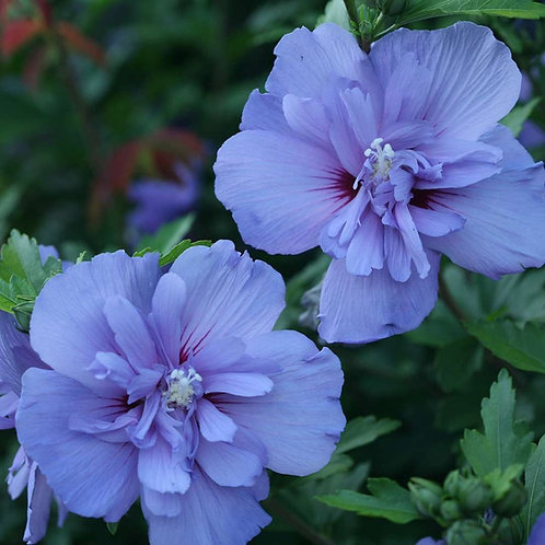 Rose Of Sharon 'blue chiffon' STERILE