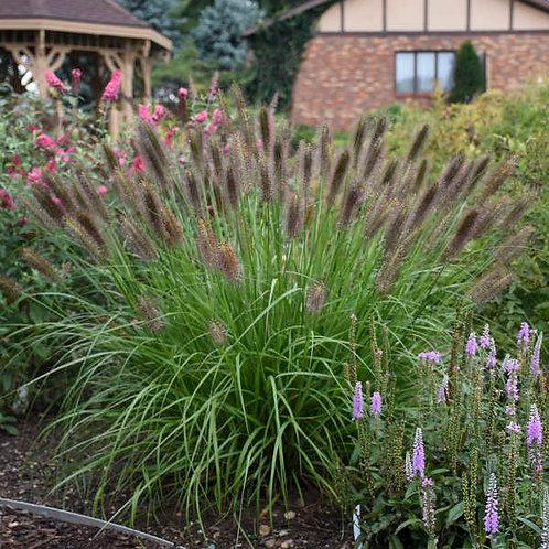 Fountain Grass- 'red head'