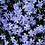 Thumbnail: Creeping Phlox - assorted colors