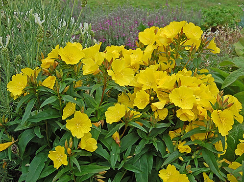 Northern Sundrops