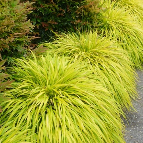Japanese Forest Grass- 'all gold'
