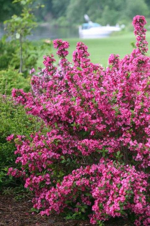 Weigela- 'sonic bloom'
