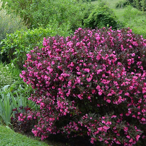 Weigela- 'wine and roses'