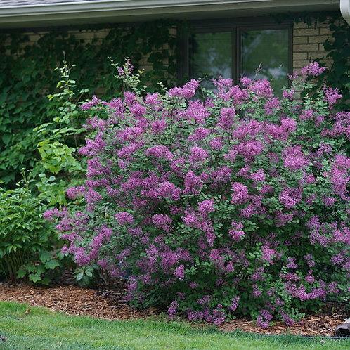 Reblooming Lilac- 'bloomerang'