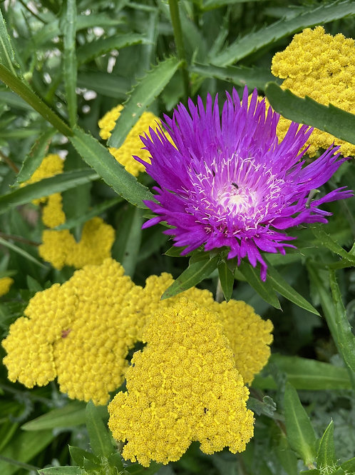 Stoke's Aster- 'honeysong purple'