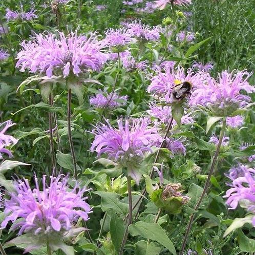 Wild Bee Balm- 'fistulosa'