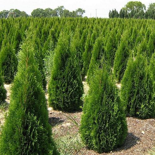 Arborvitae- 'emerald green'
