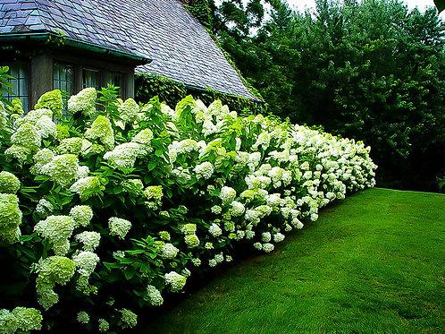 Panicle Hydrangea- 'limelight'
