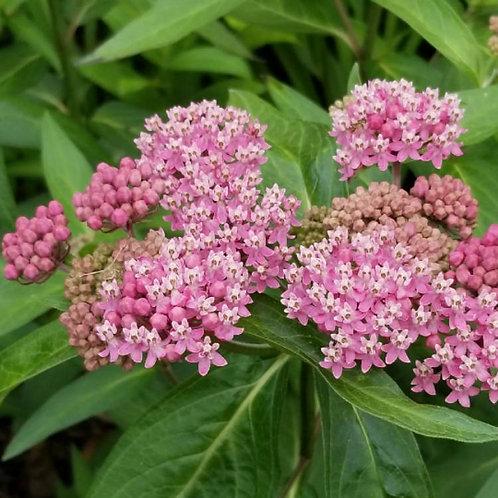 Swamp Milkweed- 'cinderella'