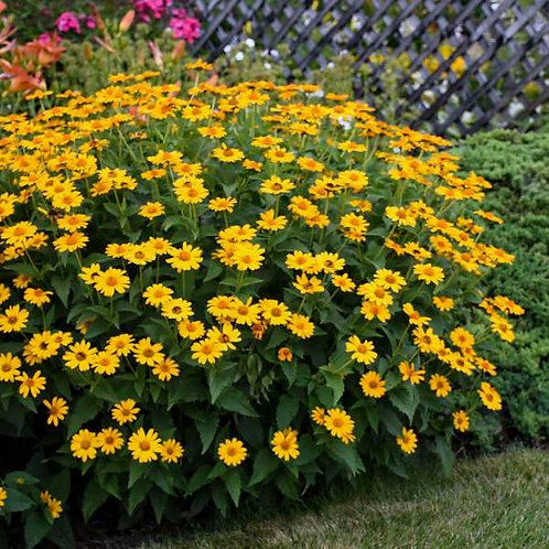 False Sunflower- 'tuscan sun'