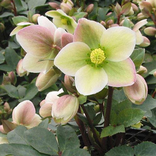 Lenten Rose- 'ivory prince'