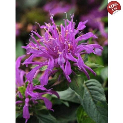 Bee Balm- 'balmy purple'