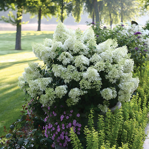 Panicle Hydrangea- 'bobo'
