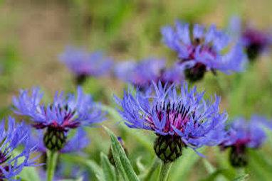Perennial Cornflower AKA Mountain Bluet