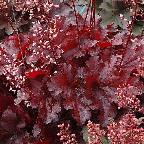 Coralbells- 'forever red'
