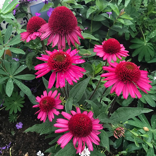 Coneflower- 'delicious candy'
