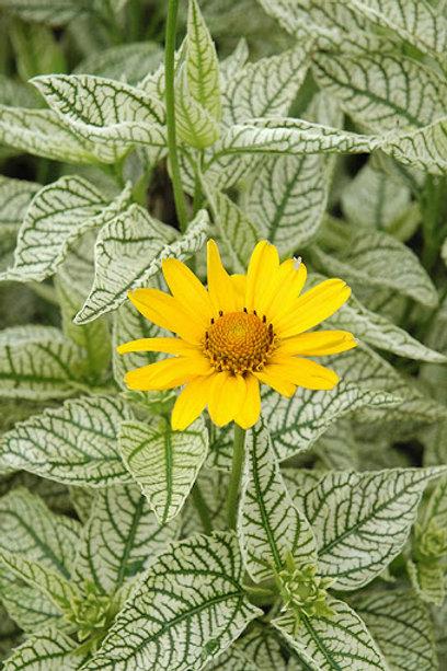 False Sunflower- 'sunburst'
