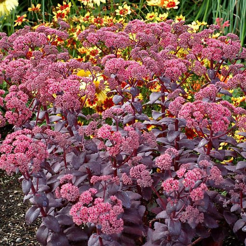 Upright Stonecrop- 'cherry truffle'