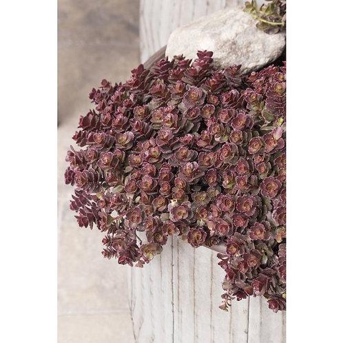 Creeping Stonecrop- 'bronze carpet'