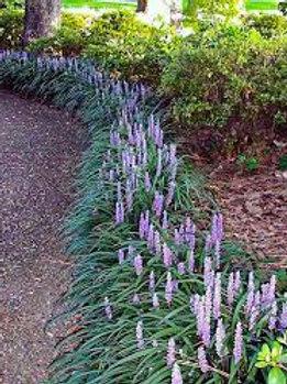 Turf Lily AKA Monkey Grass- 'big blue'
