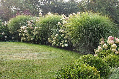 Maiden Grass- 'morning light'