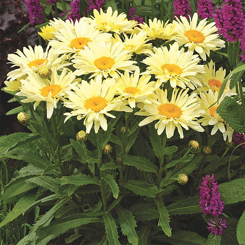 Shasta Daisy-'banana cream'