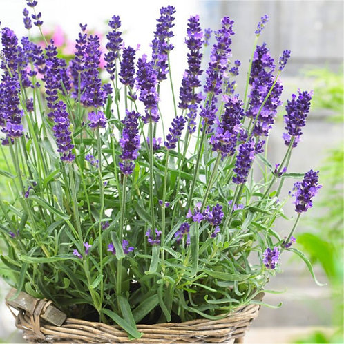 English Lavender- 'hidcote blue'