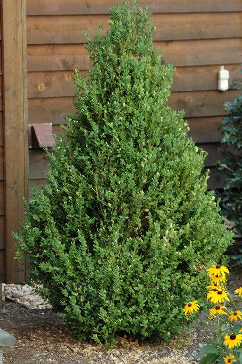Boxwood- 'green mountain'