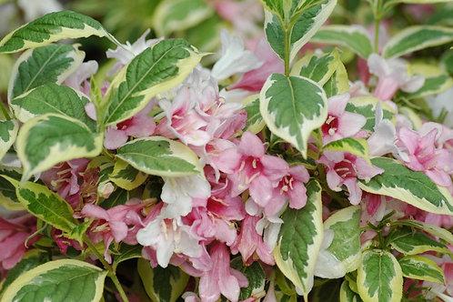 Weigela- 'variegata nana'