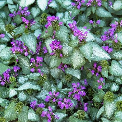 Spotted Nettle- 'purple dragon'